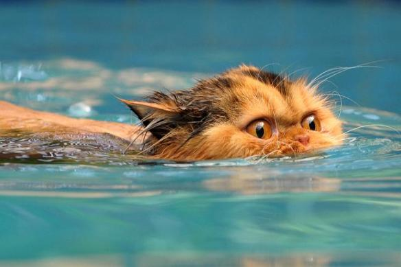 Image source: http://resources2.news.com.au/images/2010/03/18/1225842/211098-swimming-cat.jpg